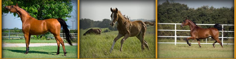 arab horses (2)