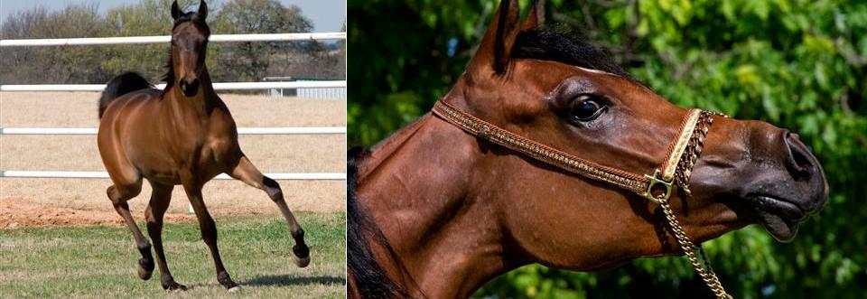 Arabian Horse breeders farms in Victoria – Australia